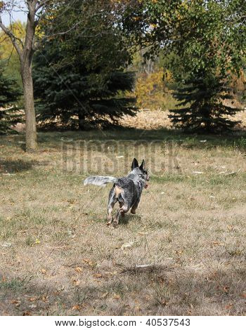 Blue Heeler Dog Running Away