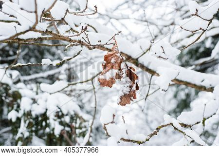 Winter Mood. Dried Oak Leaves On A Branch In The Winter Forest.