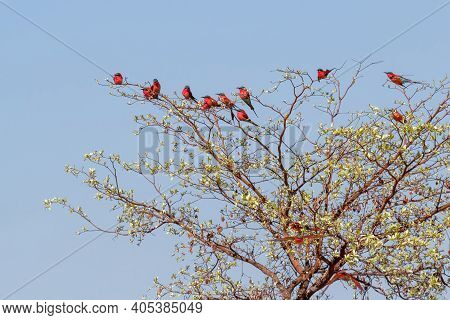 Flock Of Bird Northern Carmine Bee-eater Sitting On Tree In Large Nesting Colony Of (merops Nubicoid