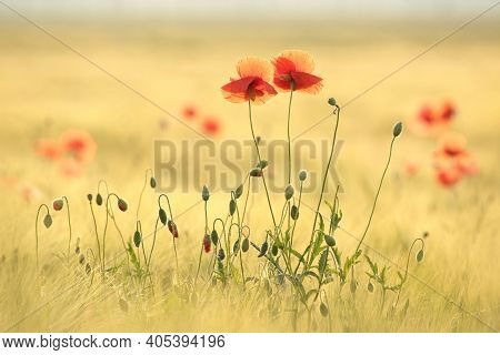 Poppies spring meadow flower Nature background Nature Flowers Nature flower background flower morning Nature flower Nature Macro Nature flower background sunset Nature flower Nature red Poppy Nature background Nature flower Nature background Wildflowers.