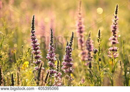 Loosestrife field Nature sunset flower Nature background flower Nature background flower garden Nature flower Nature flowers meadow Nature background Nature flower morning Nature background flower bloom Nature flower wildflowers flower Nature background.