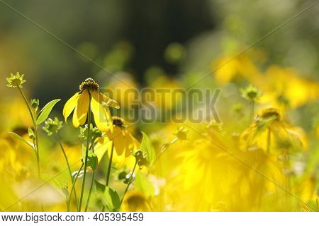 Cutleaf Coneflower flowers Nature flower background flower Nature flower Nature background flower yellow flower Nature flower summer Nature background Wildflowers Nature flower Nature flower Nature background garden Nature flower Nature flower background.