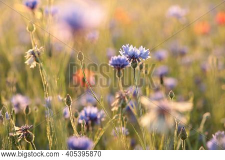 Cornflower flower Nature flower sunset Nature flower background Nature flower Nature flower background Nature flower background flower spring Nature meadow Nature flower Nature flower background wildflower Nature flower background flower Nature background
