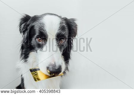 Cute Puppy Dog Border Collie Holding Gold Bank Credit Card In Mouth Isolated On White Background. Li