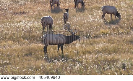 High View Of An Elk Bull Bugling During The Rut At Yellowstone