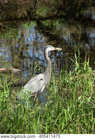 Great Blue Heron (ardea Herodias) In Natural Environment Florida Everglades