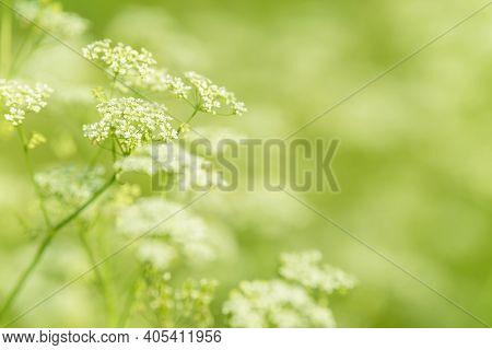Anise Flower Field. Food And Drinks Ingredient. Fresh Medicinal Plant. Seasonal Background. Blooming