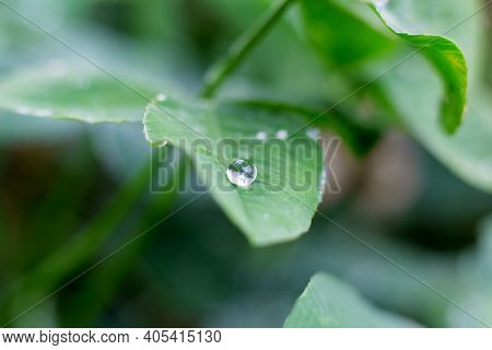 Dew Drop, Raindrop On Green Leaf In Forest, Macro Close Up. Water Flowing Down The Plant. Natural Ba