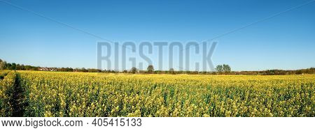 Springtime Raps Field With Planted Crop. Agricultural Farmland, Countryside In Brandenburg By Berlin