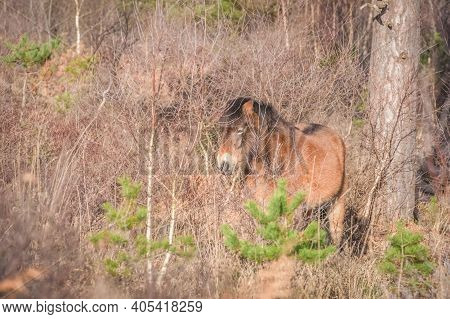Camouflaged Free Roaming Exmoor Pony In Woodland