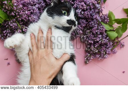 Owner Caressing Cute Funny Cat Among Lilac Flowers On Pink Paper, Top View. Hello Spring And Interna