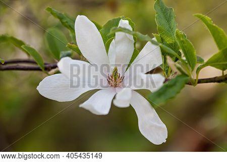 Star Magnolia (magnolia Stellata) Flowering Tree In The Garden