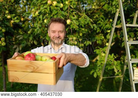 Handsome Mature Man Picking Apples In Orchard. Person Holding Wooden Boxes With Harvest. Harvesting