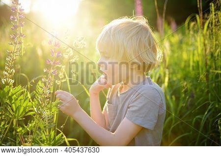 Cute Preschooler Boy Admiring Of Lupine Flowers In Field On Sunset. Child Exploring Nature. Summer A