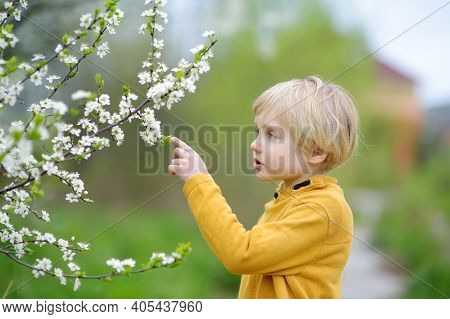 Preschooler Boy Admiring Blossom Cherry Tree In Sunny Garden. Glad Baby Enjoy Tender Nature View In