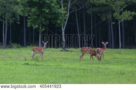 Three Whitetail Deer That Are On A North Carolina Field Nextto A Forest