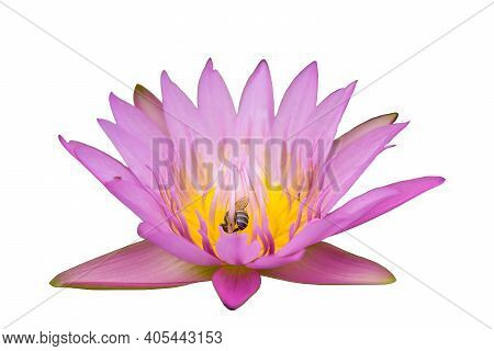 Pale Pink Lotus Has Yellow And Pink Pollen, And A Swarm Of Bees Gathers At The Pollen On White Backg
