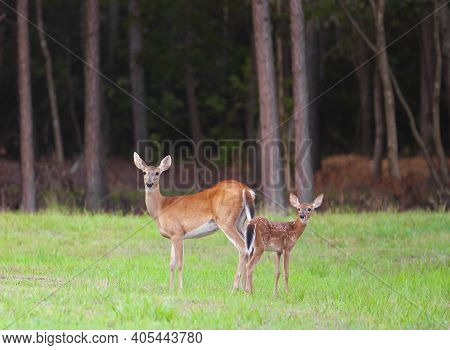 Whitetail Deer Fawn And Doe Near Raeford Nc