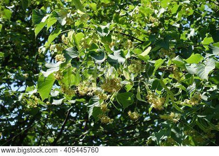Florescence Of Linden Tree In Mid June