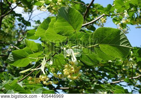 Leafage And Flowers Of Linden Tree In Mid June