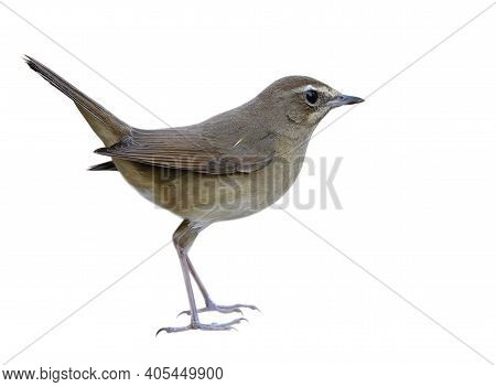 Female Of Siberian Rubythroat (calliope Calliope) Lovely Brown Bird With White Eyebrow Isolated On W
