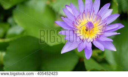 Floating Water Lilies In Pond. From Above Of Green Leaves With Violet Water Lily Flowers Floating In