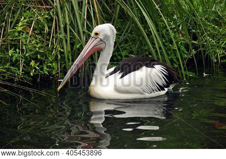 Swimming Beautiful Pelican In Pond, Single White Pelican Bird Swimming Alone In Water Of Tropical Po