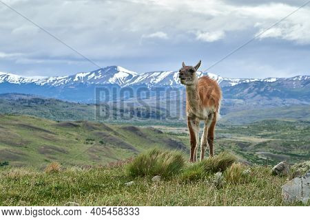 Lama Guanicoe Is A Camelid Native To South America, Closely Related To The Domesticated Llama. Guana