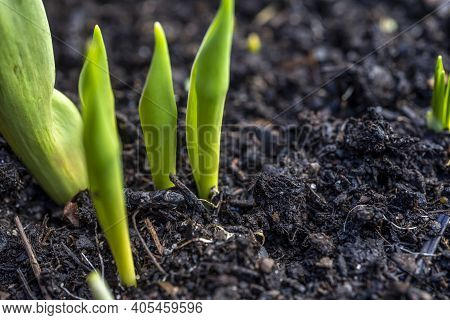 Tulip And Crocus Sprouts In Early Spring Garden, Spring Awakening And Grow Concept. Fresh Green Plan