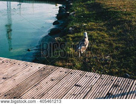 Riverside With Fragment Of Wooden Pier Bridge, Blue Water Front And Running Young Gull Bird, Nature