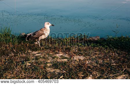 Nature Background Of Riverside With Young Walking Gull And Blue Water