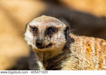 Meerkat Sentinal Stands On Guard. Auckland Zoo, Auckland, New Zealand