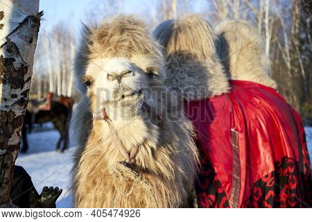 Side View Of A Bactrian Or Two-humped Camel