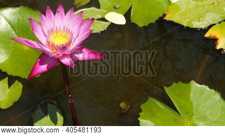 Floating Water Lilies In Pond. From Above Of Green Leaves With Pink Water Lily Flowers Floating In T