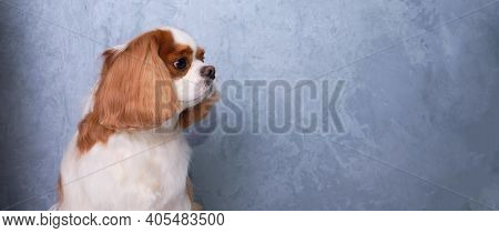 Cavalier King Charles Spaniel Dog Portrait On A Gray Background. The Dog Looks Away.