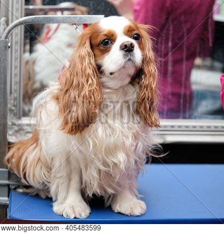 The Cavalier King Charles Spaniel Hairy Sits In Front Of A Haircut In The Office For The Care Of Pet