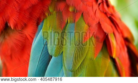 Close Up Of Red Amazon Scarlet Macaw Parrot Or Ara Macao, In Tropical Jungle Forest. Wildlife Colorf
