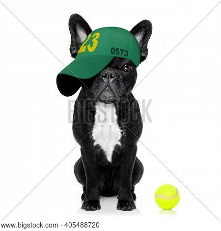 Cool Casual Look French Bulldog Dog Playing Tennis With Cap Or Hat , Sporty And Fit , Isolated On Wh