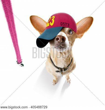 Cool Casual Look Chihuahua Dog Wearing A Baseball Cap Or Hat , Sporty And Fit ,ready To Walk With Le