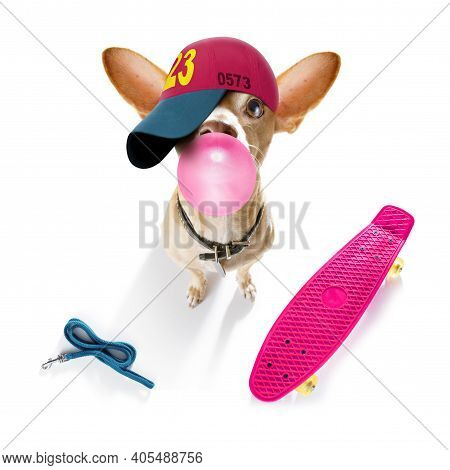 Cool Casual Look Chihuahua Dog Wearing A Baseball Cap Or Hat , Sporty And Fit , On A Skateboard Read