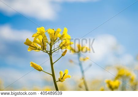 Landscape Of A Field Of Yellow Rape Or Canola Flowers, Grown For The Rapeseed Oil Crop. Field Of Yel