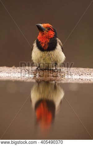 The Black-collared Barbet (lybius Torquatus) Drinking From A Small Pond. Large Barbet With A Red Hea