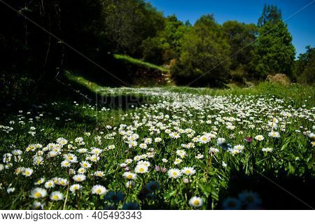 Chamomile Flower Field. Chamomiles Field In A National Forest In Greece In The Spring.beautiful Natu