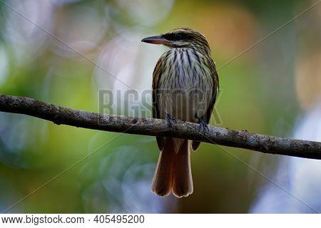 Northern Streaked Flycatcher - Myiodynastes Maculatus Passerine Bird In Tyrant Flycatcher, Green Bac