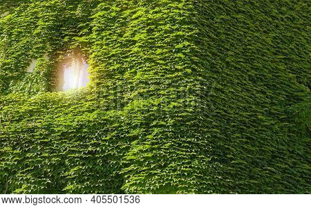 Green Facade Eco House Evergreen Hedge Wall Overgrown By Wild Grapes Covered Ivy. Vine Creeper Aroun