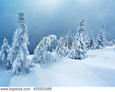 Bright winter spruces in snow on a frosty day. Location place Carpathian mountains, Ukraine, Europe. Vibrant photo wallpapers. Christmas holiday concept. Happy New Year! Discover the beauty of earth.
