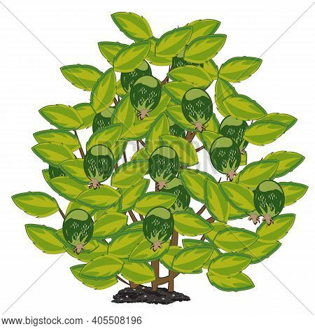 Vector Illustration Subtropical Shrubbery With With Berry Feijoa