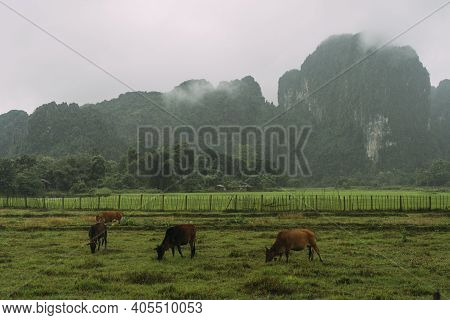 Four Brown Cows Graze On Lush, Green Farmland In Front Of Sharp Mountain Peaks In Vang Vieng, Laos.