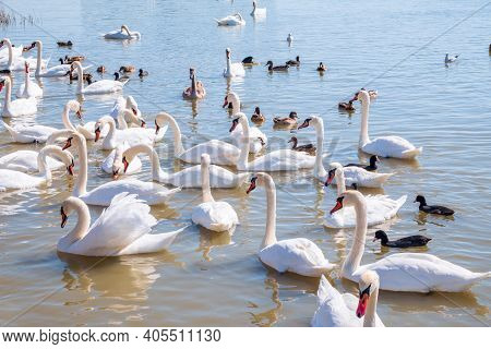 A Large Flock Of Graceful White Swans Swims In The Lake., Swans In The Wild. The Mute Swan, Latin Na