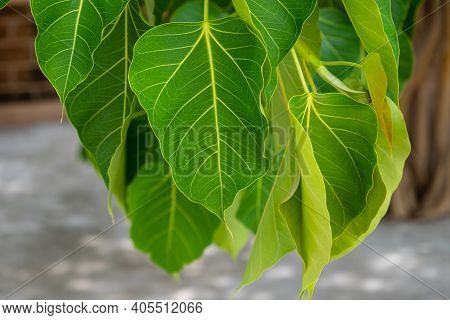 Close-up Of Bodhi Tree Leaves, It Is An Important Pilgrimage Site For Buddhists And They Believed Bu
